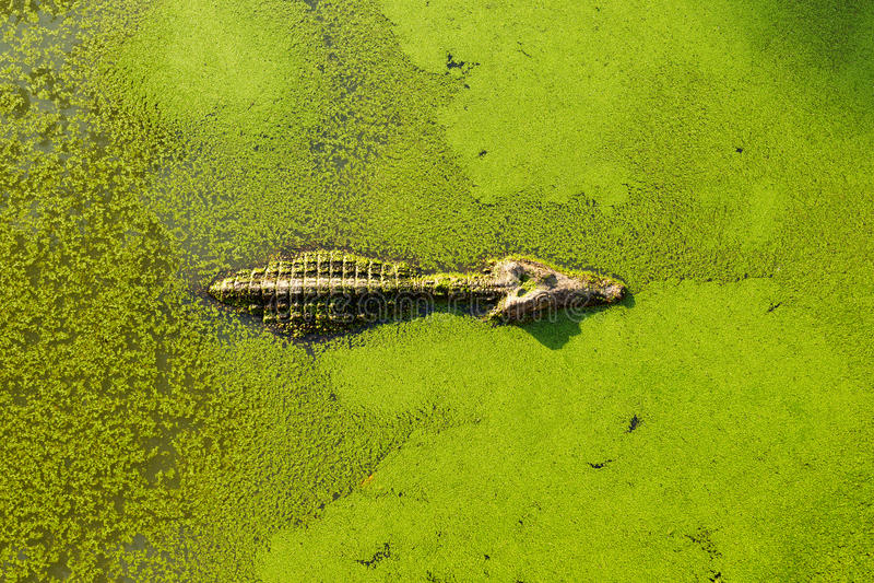 Alligator i våtmarkdamm som täckas med duckweeden och simning royaltyfri bild