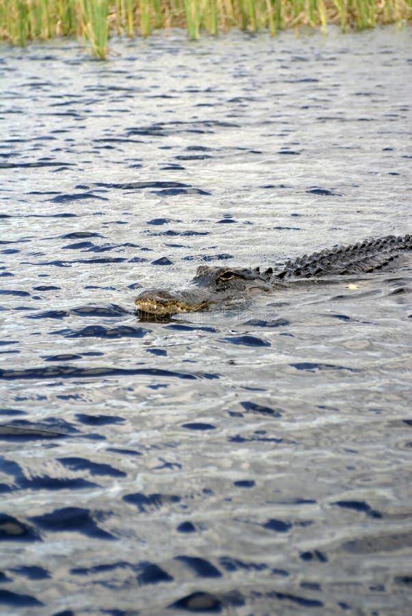 Alligator im Everglades-Nationalpark, Florida, USA lizenzfreies stockfoto