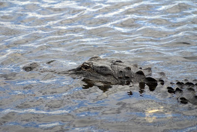 Alligator im Everglades-Nationalpark, Florida, USA lizenzfreies stockbild
