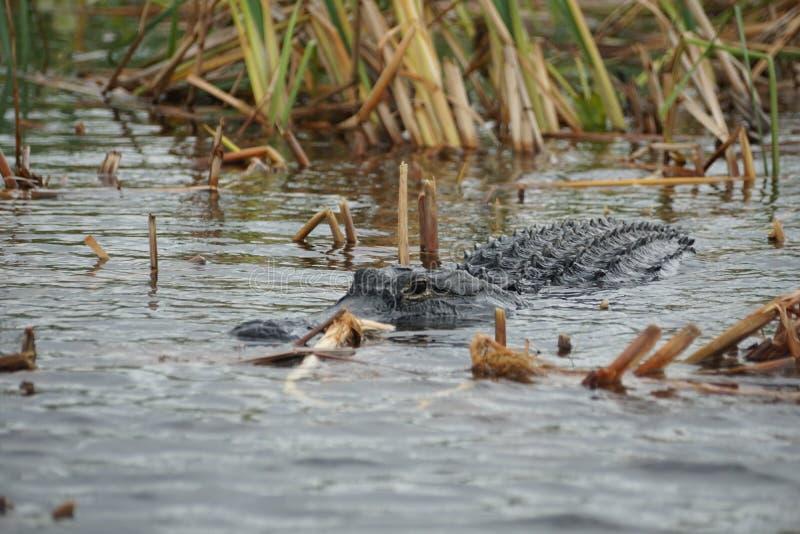 Alligator im Everglades-Nationalpark, Florida, USA stockbilder