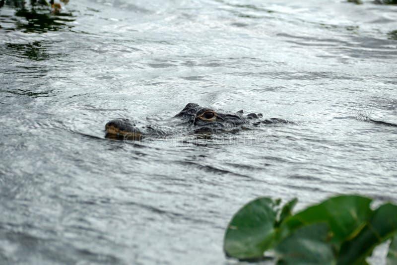 Alligator im Everglades-Nationalpark, Florida, USA lizenzfreie stockfotos