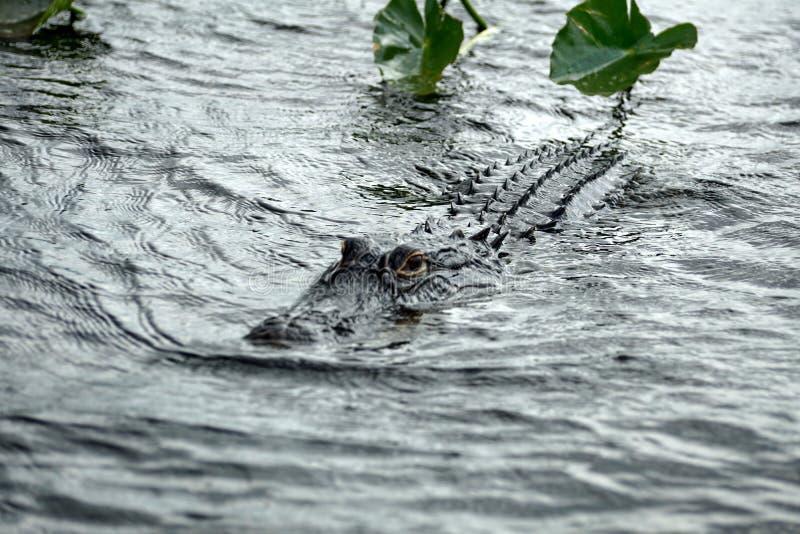 Alligator im Everglades-Nationalpark, Florida, USA lizenzfreie stockfotografie