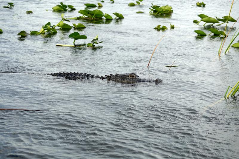 Alligator im Everglades-Nationalpark, Florida, USA stockfotografie