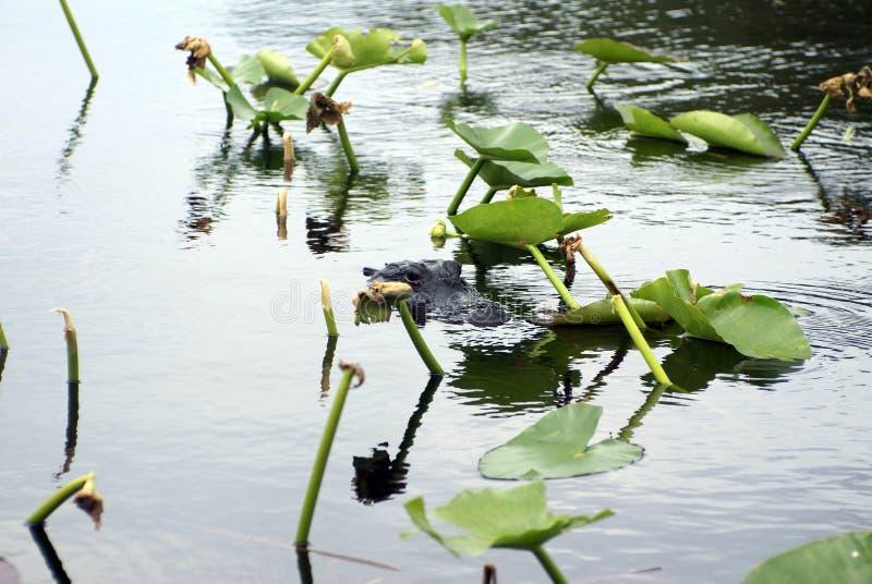 Alligator im Everglades-Nationalpark, Florida, USA stockfotos