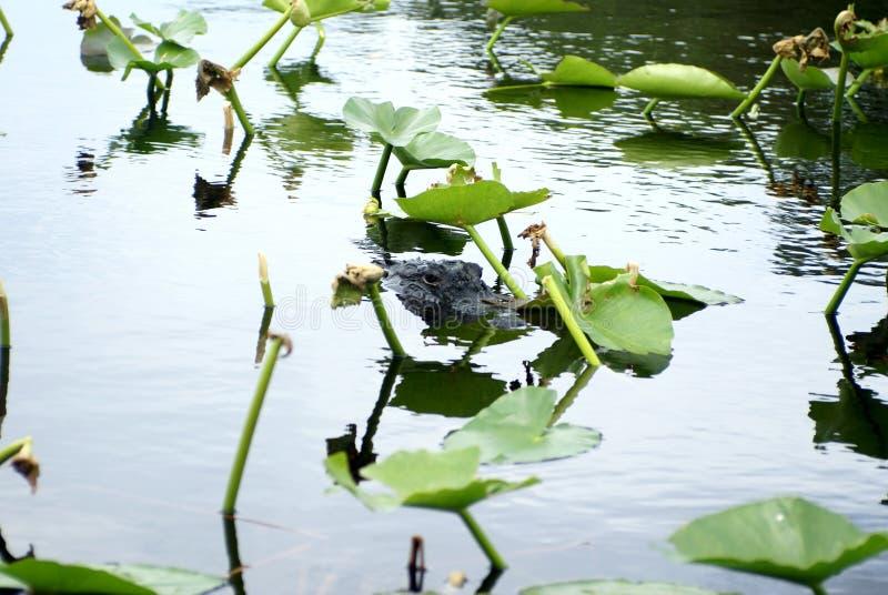 Alligator im Everglades-Nationalpark, Florida, USA stockfoto