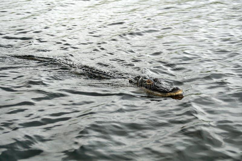 Alligator im Everglades-Nationalpark, Süd-Florida stockbilder