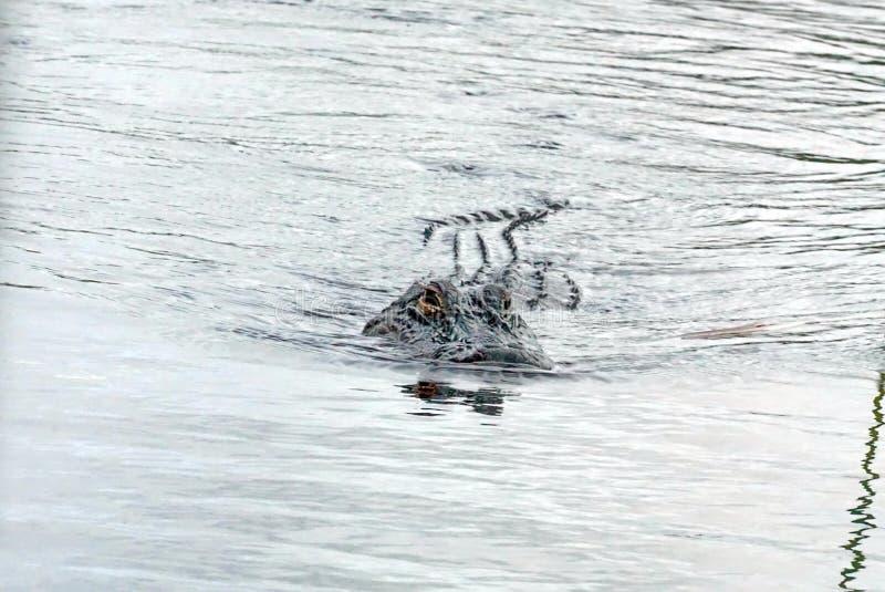Alligator im Everglades-Nationalpark, Süd-Florida lizenzfreie stockfotografie