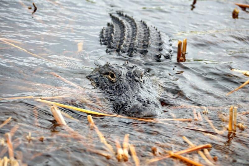 Alligator im Everglades-Nationalpark, Süd-Florida lizenzfreie stockfotos