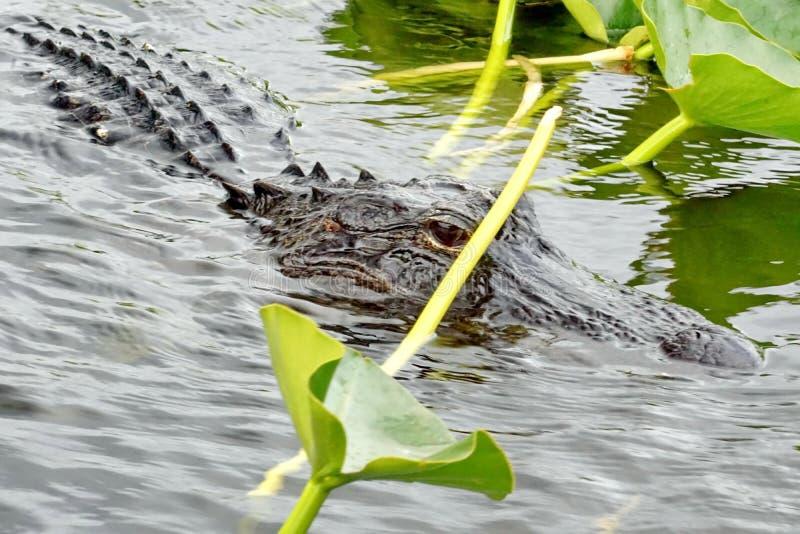 Alligator im Everglades-Nationalpark, Süd-Florida lizenzfreie stockbilder