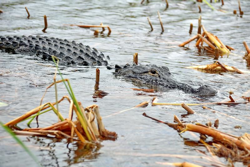 Alligator im Everglades-Nationalpark, Süd-Florida stockfoto