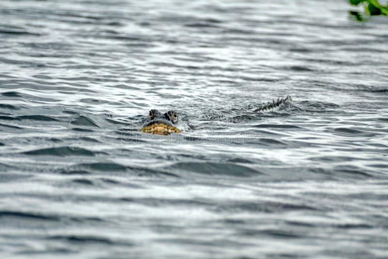 Alligator im Everglades-Nationalpark, Süd-Florida stockfotografie