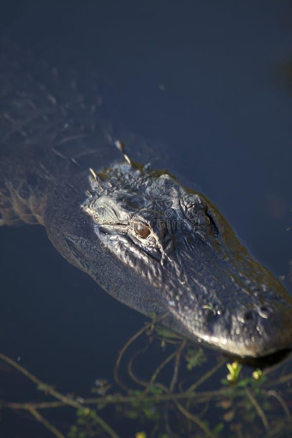 Free Alligator In Everglades Stock Images - 16077444