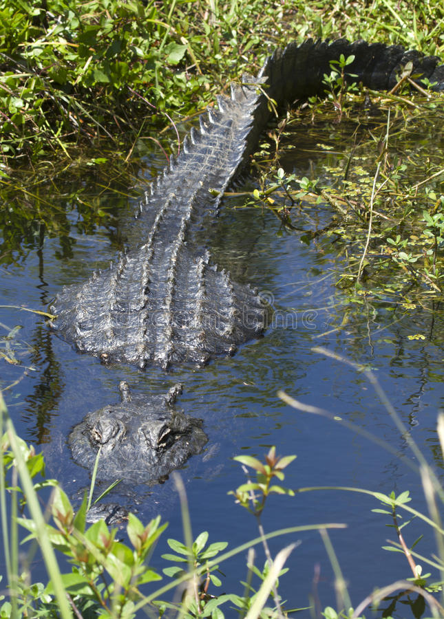 Free Alligator Is Watching You Royalty Free Stock Photo - 13657495