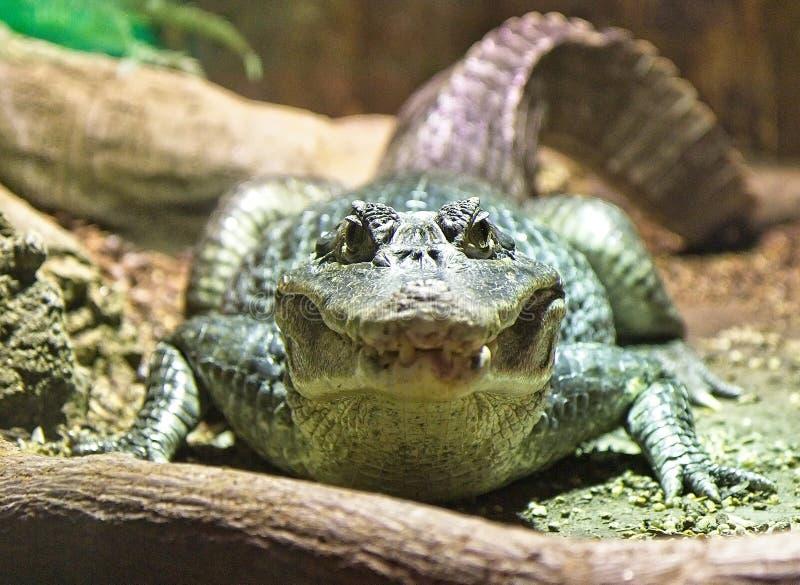 Alligator - Krokodil die recht in de camera kijken royalty-vrije stock foto's