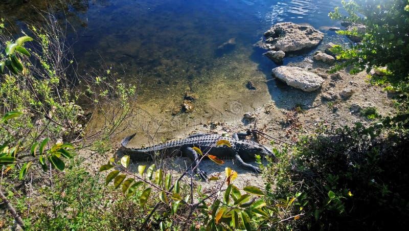 Alligator la Floride image stock
