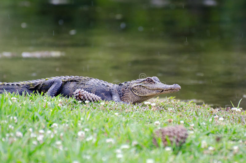 Alligator Magnolia Springs State Park royalty free stock images