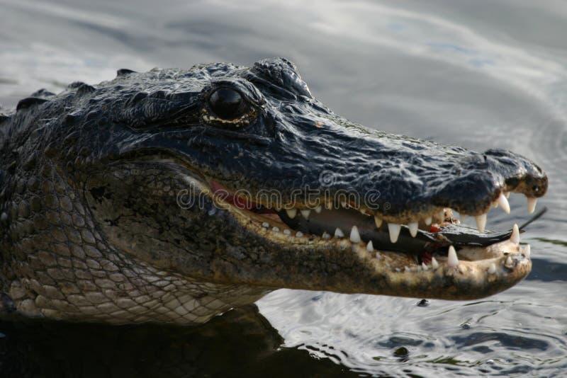 Alligator mangeant le poisson-chat photos libres de droits