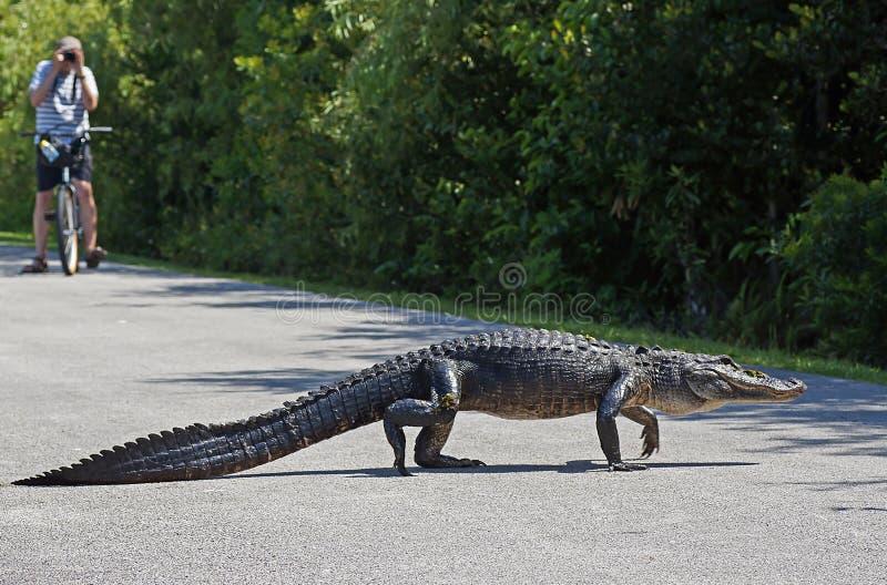 Alligator marchant à travers le chemin de cycle photographie stock libre de droits
