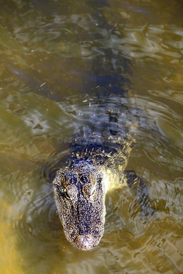 Alligator in Meer royalty-vrije stock foto