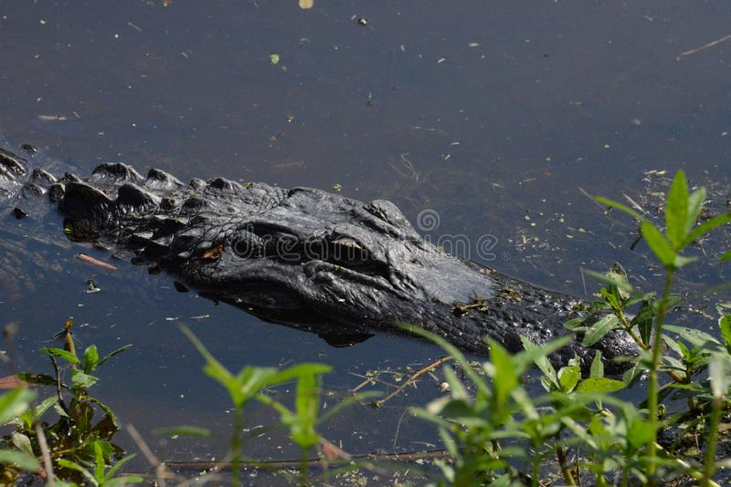 The alligator is a menacing looking reptile regardless of size. The alligator rules the river and its banks in the Amelia Island, Florida Greenway stock images