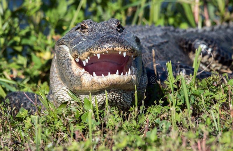Alligator met zijn open mond royalty-vrije stock fotografie