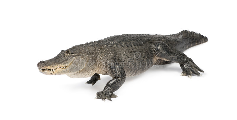 Alligator mississippiensis - (30 years). American Alligator (30 years) - Alligator mississippiensis in front of a white background royalty free stock photography