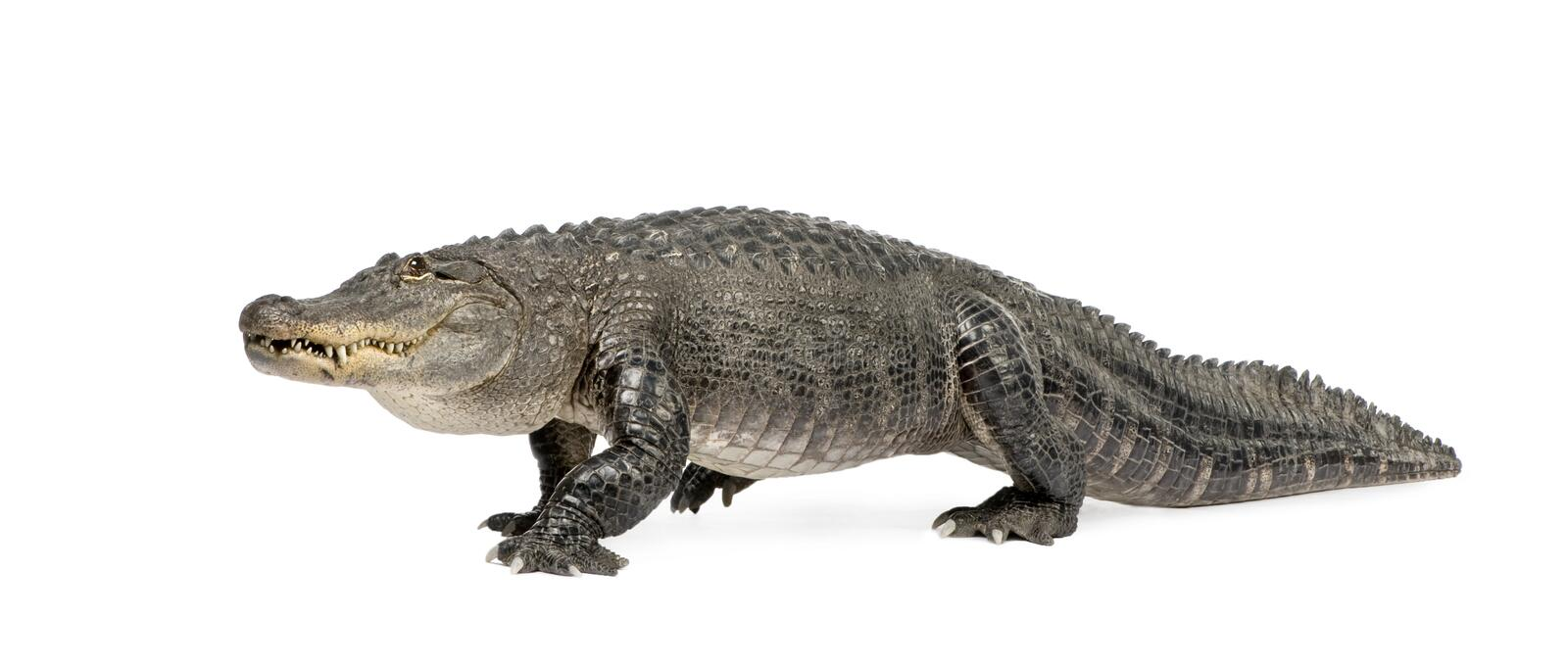 Alligator mississippiensis - (30 years). American Alligator (30 years) - Alligator mississippiensis in front of a white background royalty free stock images