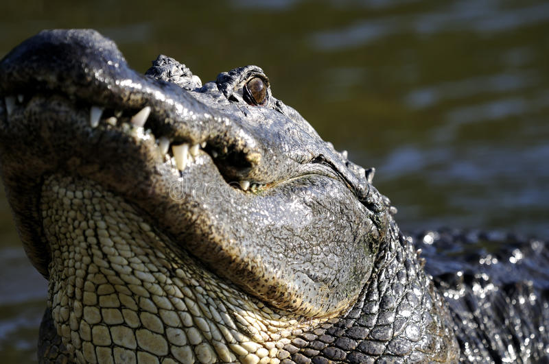 Alligator mississippiensis, american alligator. Looking at you royalty free stock images
