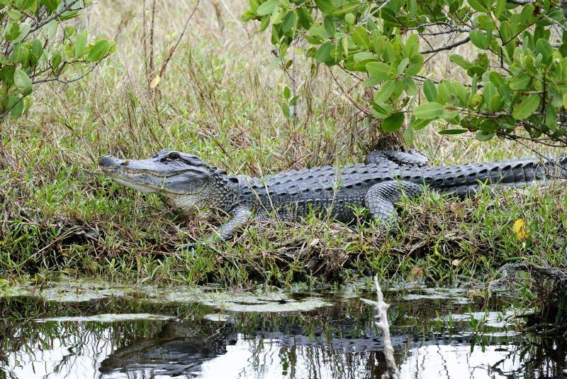 Alligator mississippiensis, american alligator. Merritt-island, florida stock photo