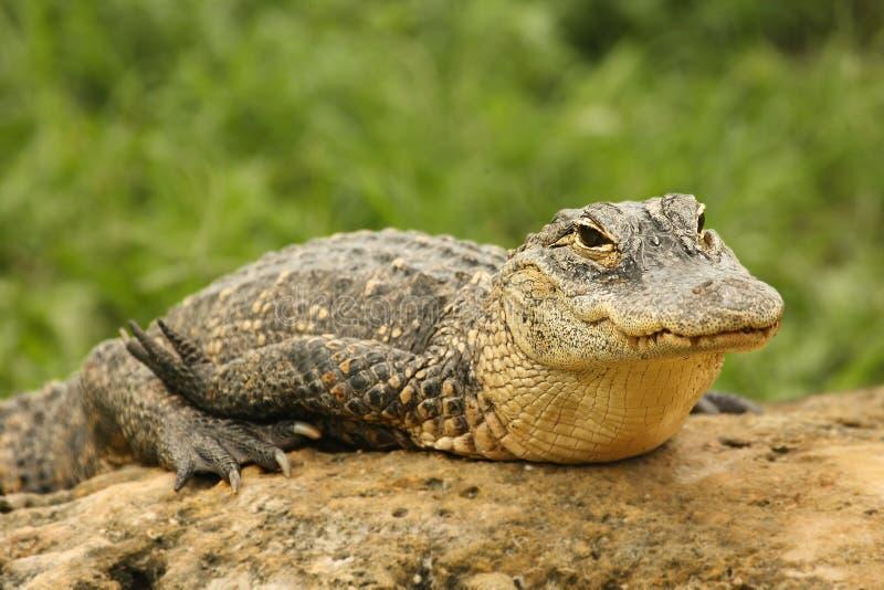 Alligator mississippiensis se repose sur la pierre dans le parc national des Everglades photos libres de droits