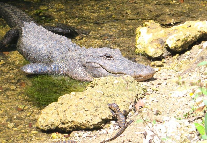 Alligator mit Babyalligator stockbilder