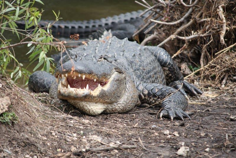 Alligator mit offenem Mund stockfotos