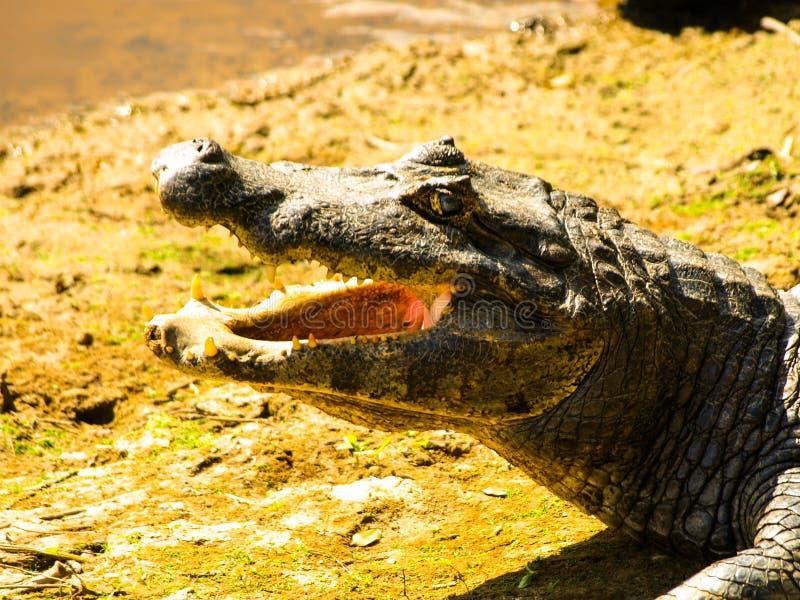 Alligator mit offenem Mund, Nahaufnahmeprofilansicht, Amazonas-Gebiet stockbild