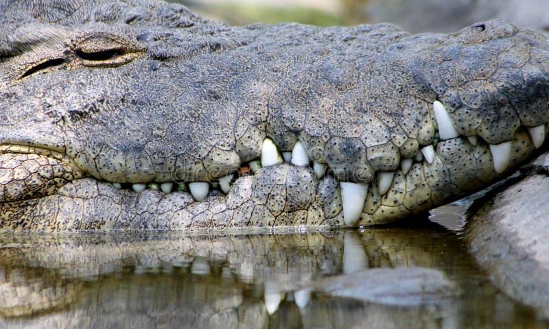 Alligator montrant des dents images stock