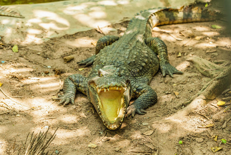 Alligator. With mouth open in the wild stock photography