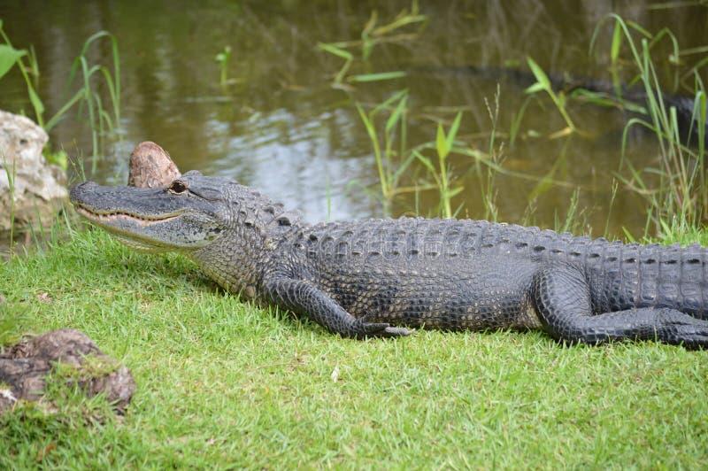 Alligator op gras dichtbij moerassen royalty-vrije stock foto