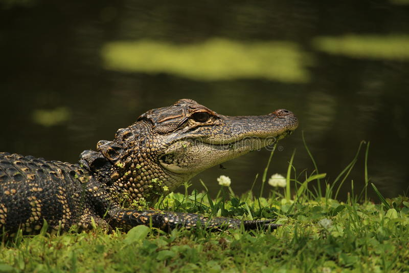 Alligator på banken av ett damm arkivfoto