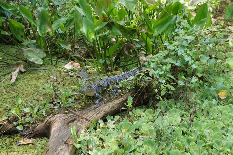 Alligator på korkskruvträskfristaden arkivfoto