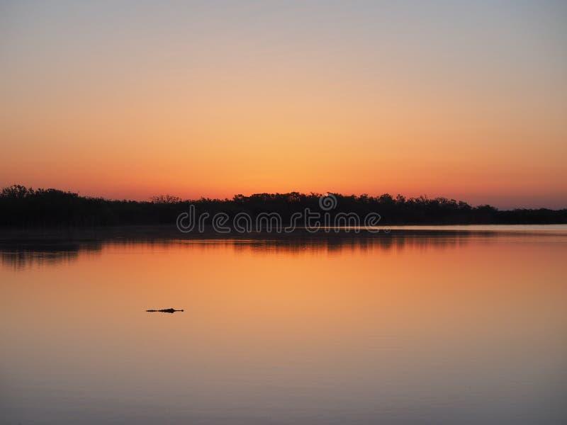 Alligator på soluppgång på det nio mil dammet i Everglades nationalpark, Florida fotografering för bildbyråer