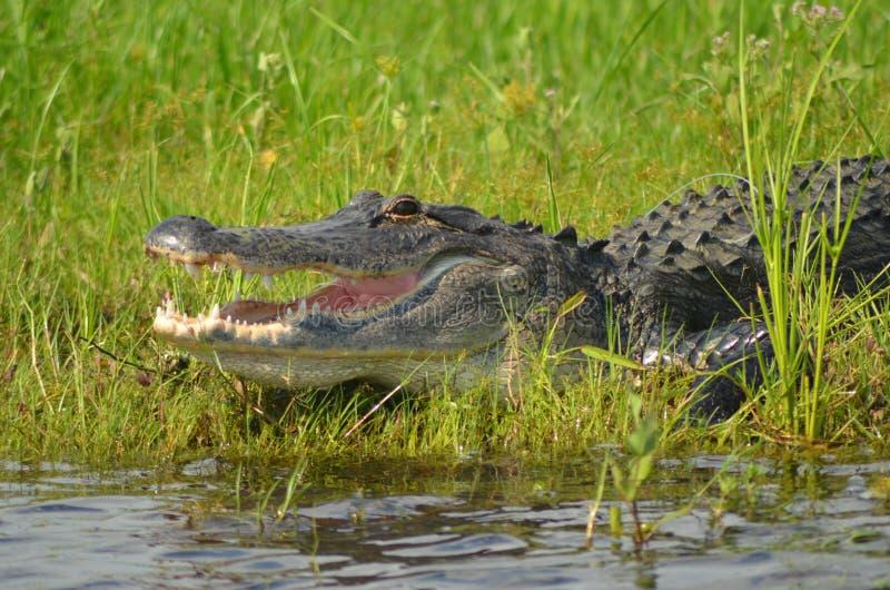 Alligator par l'eau images libres de droits