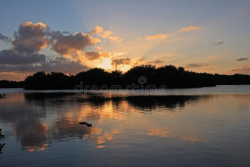 Alligator in Paurotus Pond in Everglades National Park, Florida, at sunset royalty free stock photography
