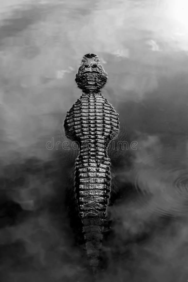 Alligator. Profile through fog over water, in black and white royalty free stock photos