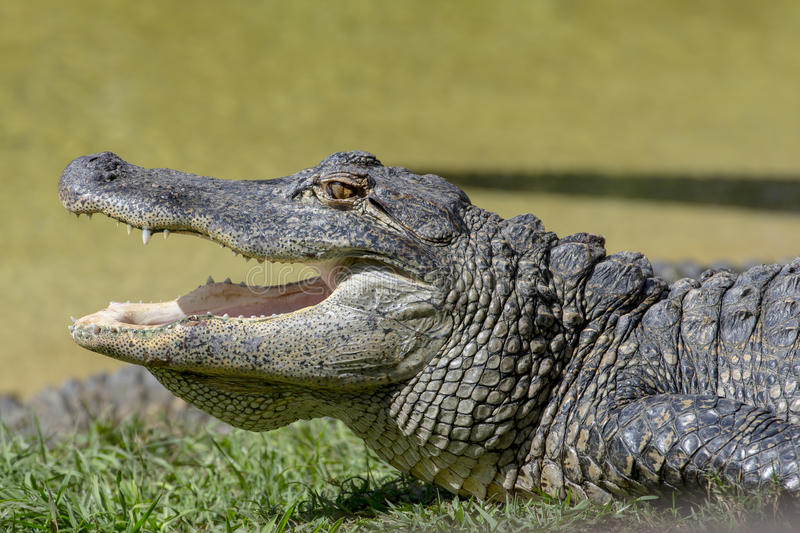 Alligator. Profile with its mouth open stock photo