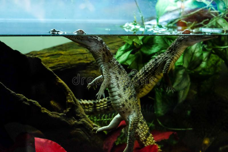 Alligator puppy in aquarium royalty free stock photography