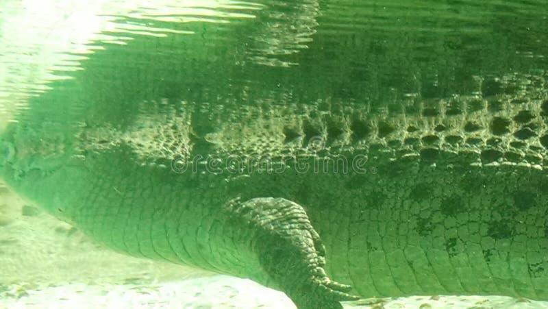 Alligator reflection royalty free stock photo