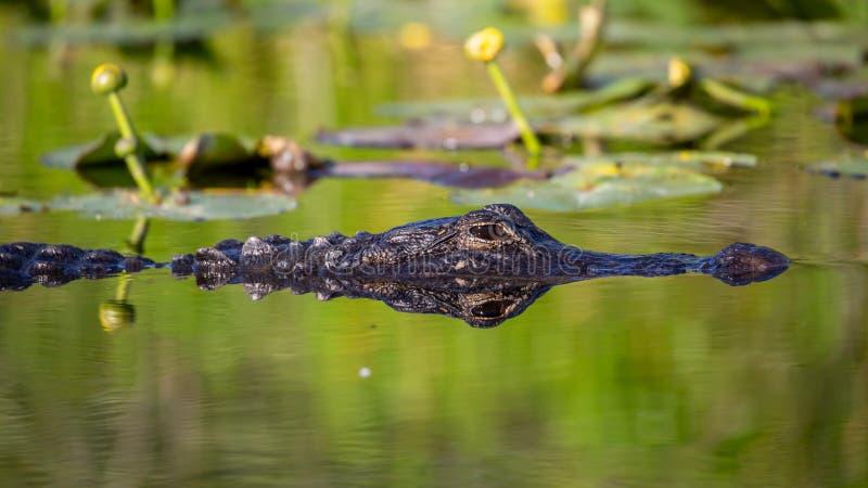 Alligator reflekterad i vattnet, Evergladesnationalpark arkivfoton
