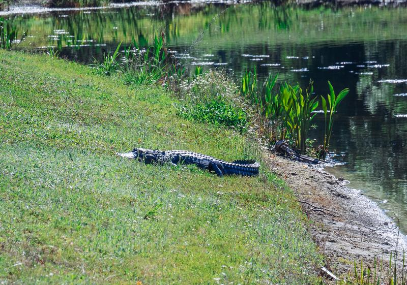 Alligator is resting. Taken in Tampa, florida royalty free stock images