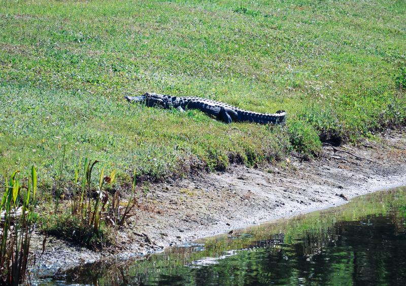 Alligator is resting. Taken in Tampa, florida stock photography