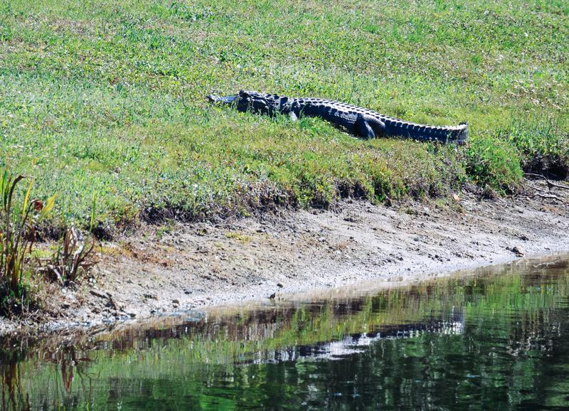 Alligator is resting. Taken in Tampa, florida stock images