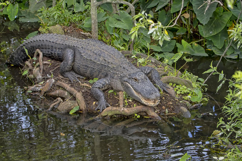 Alligator. Resting out by swamp waters royalty free stock images